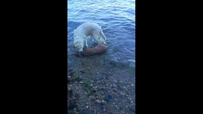 Un chien sauve un faon de la noyade — Etats-Unis