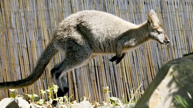 Un kangourou lapidé par les spectateurs d'un zoo car — Chine