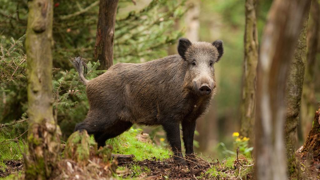 Luxembourg :Peste porcine: la chasse de nuit est loin d'être envisagée