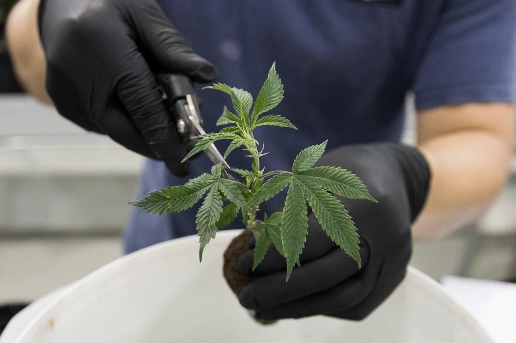 Santé :Le Luxembourg manque de cannabis médicinal