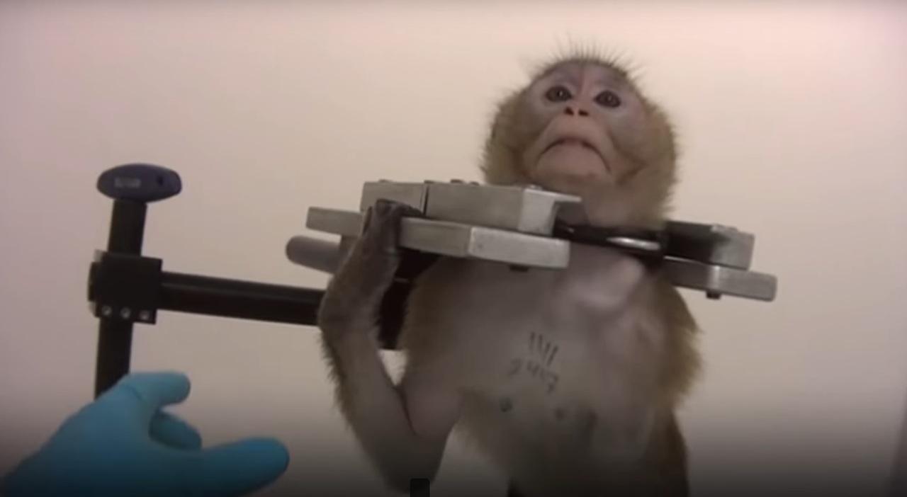 Caméra cachée :Des animaux torturés dans un labo de test pharmaceutiques