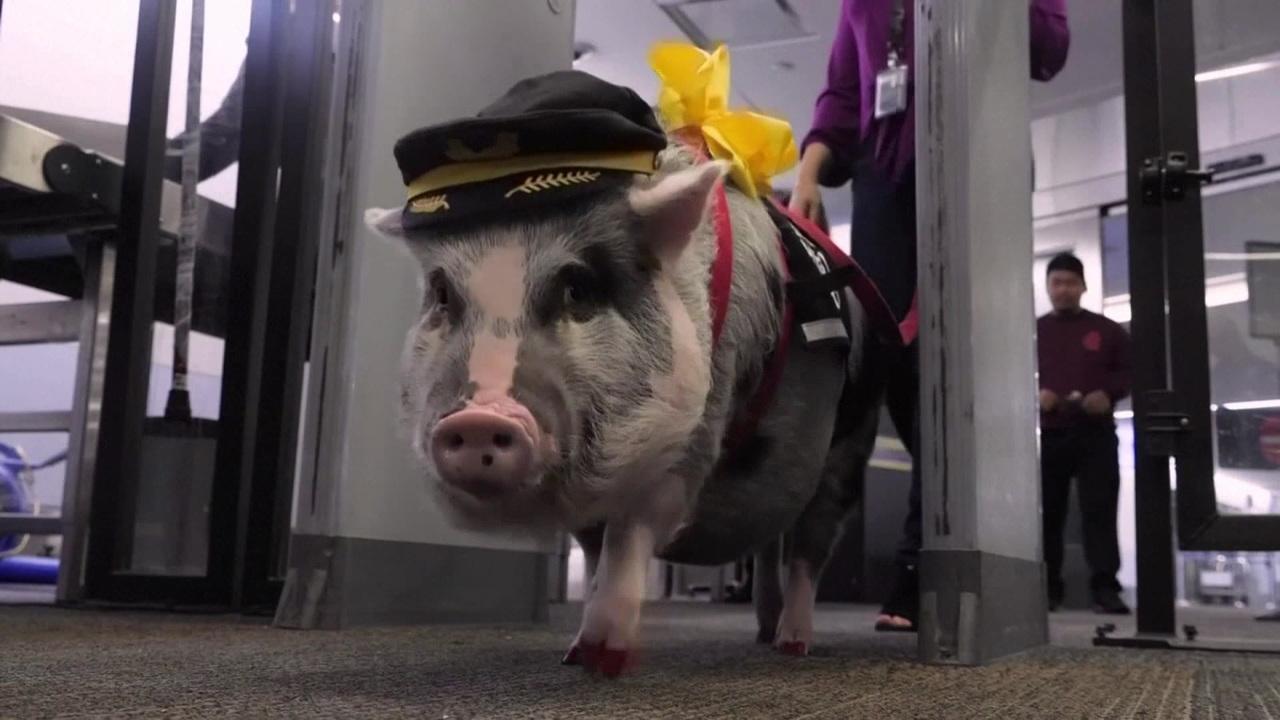 Therapig :Lilou, le cochon qui calme les voyageurs stressés