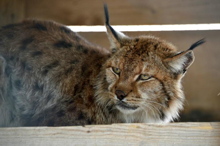 Massif des Vosges :Un lynx, animal protégé, abattu par un braconnier dans le Haut-Rhin
