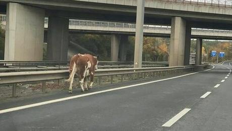 Meuh non? :Une vache a traversé l'A4 en direction d'Esch ce week-end