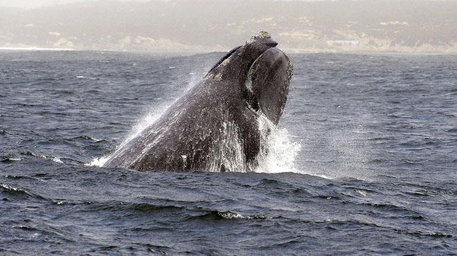 Moins de 400 dans le monde :Cette espèce de baleine est en déclin dramatique